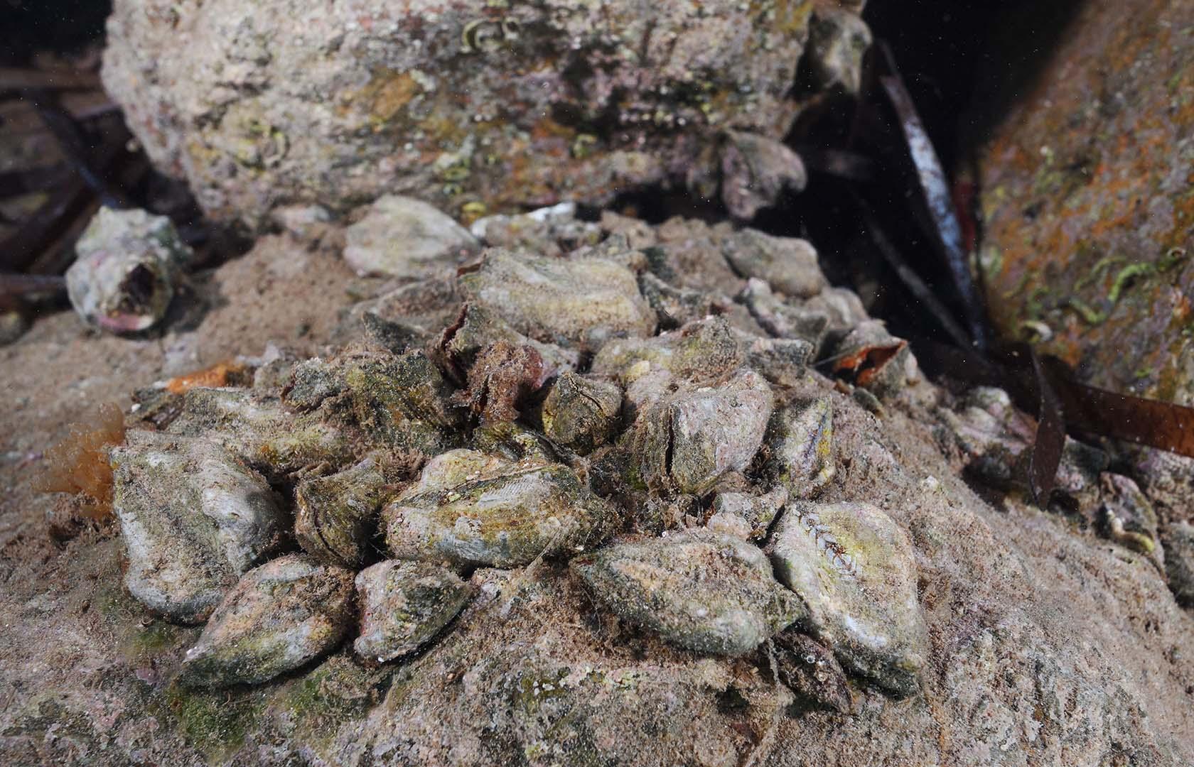 Es una especie típica de fondos duros, tanto rocas como paredes de puertos y escolleras.