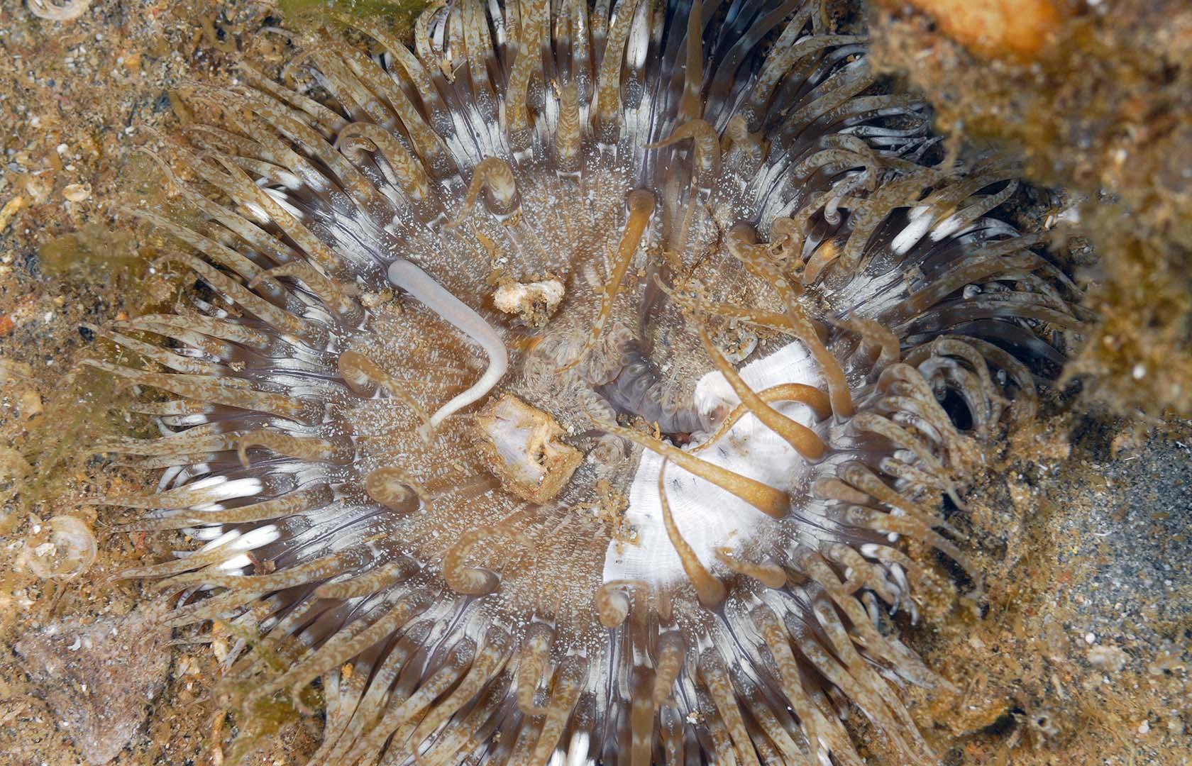 Con las células urticantes de sus tentáculos atrapa su alimento.