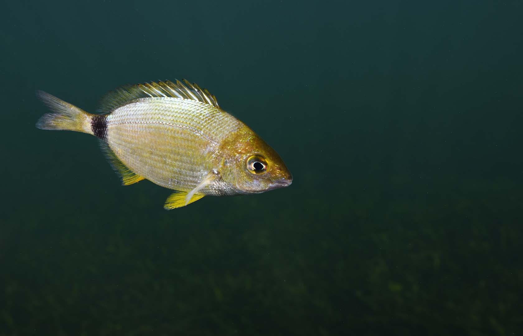 Ejemplar de mediano tamaño nadando.