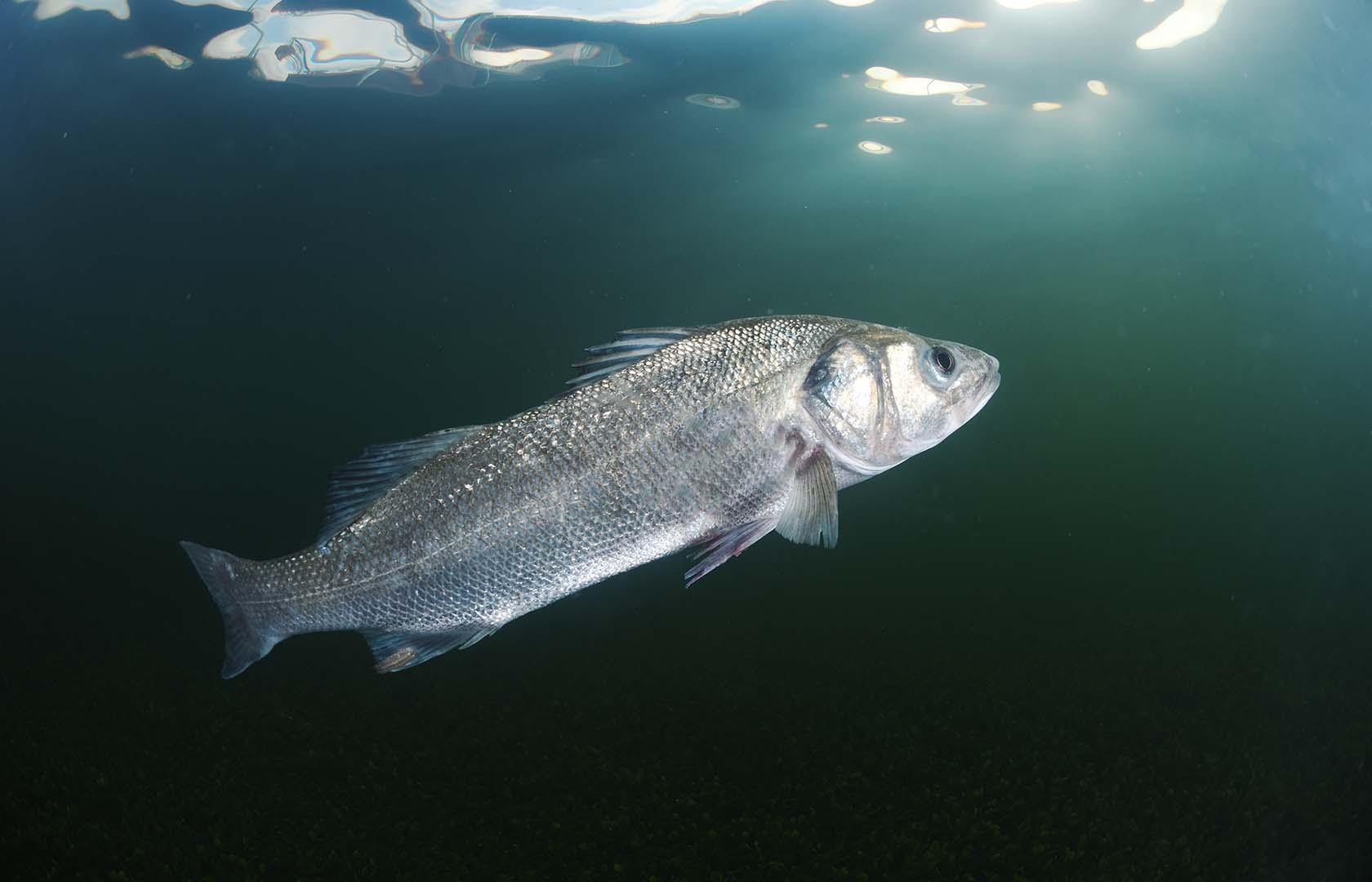 -Gran ejemplar adulto nadando.