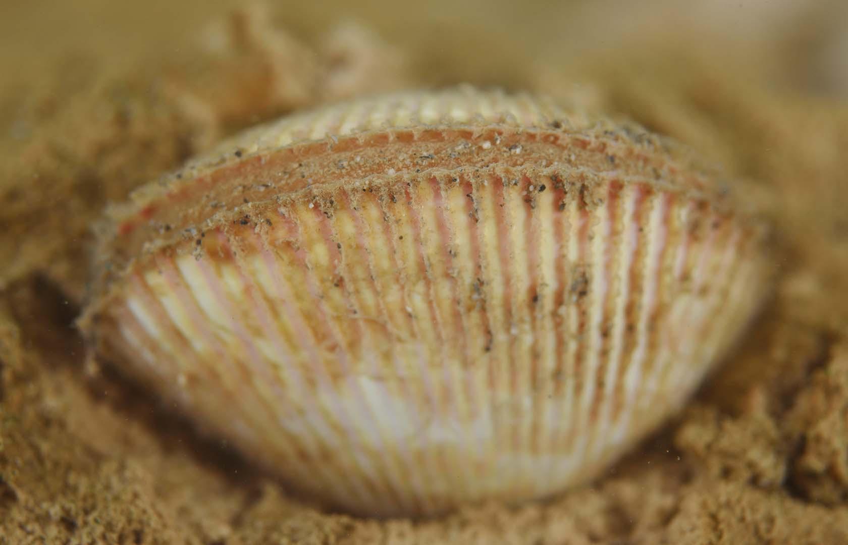 Se trata de una especie de forma muy característica y de concha frágil.