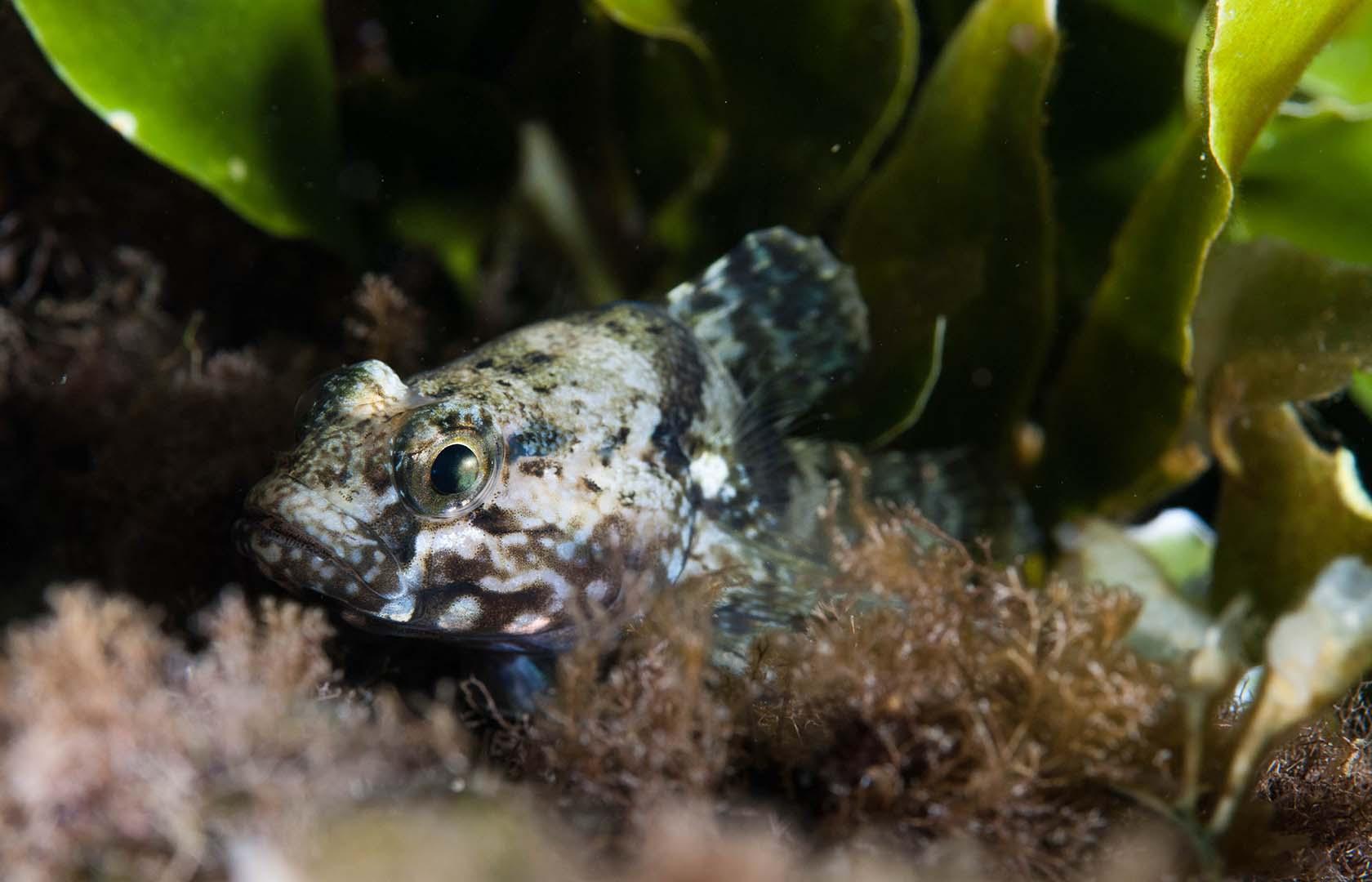Ejemplar escondido entre Caulerpa prolifera.