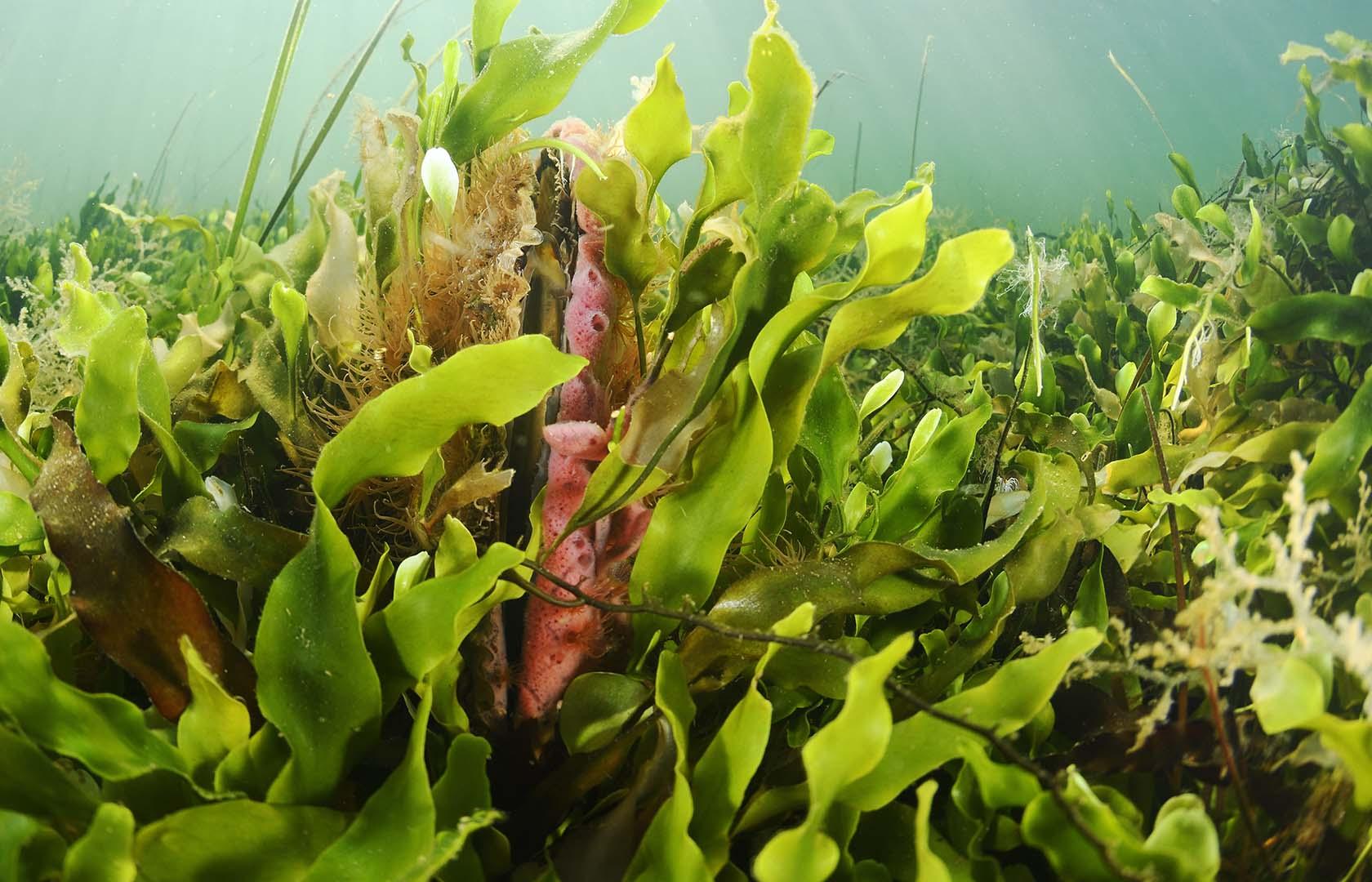 Puede aparecer cubriendo la conchas de Pinna nobilis.
