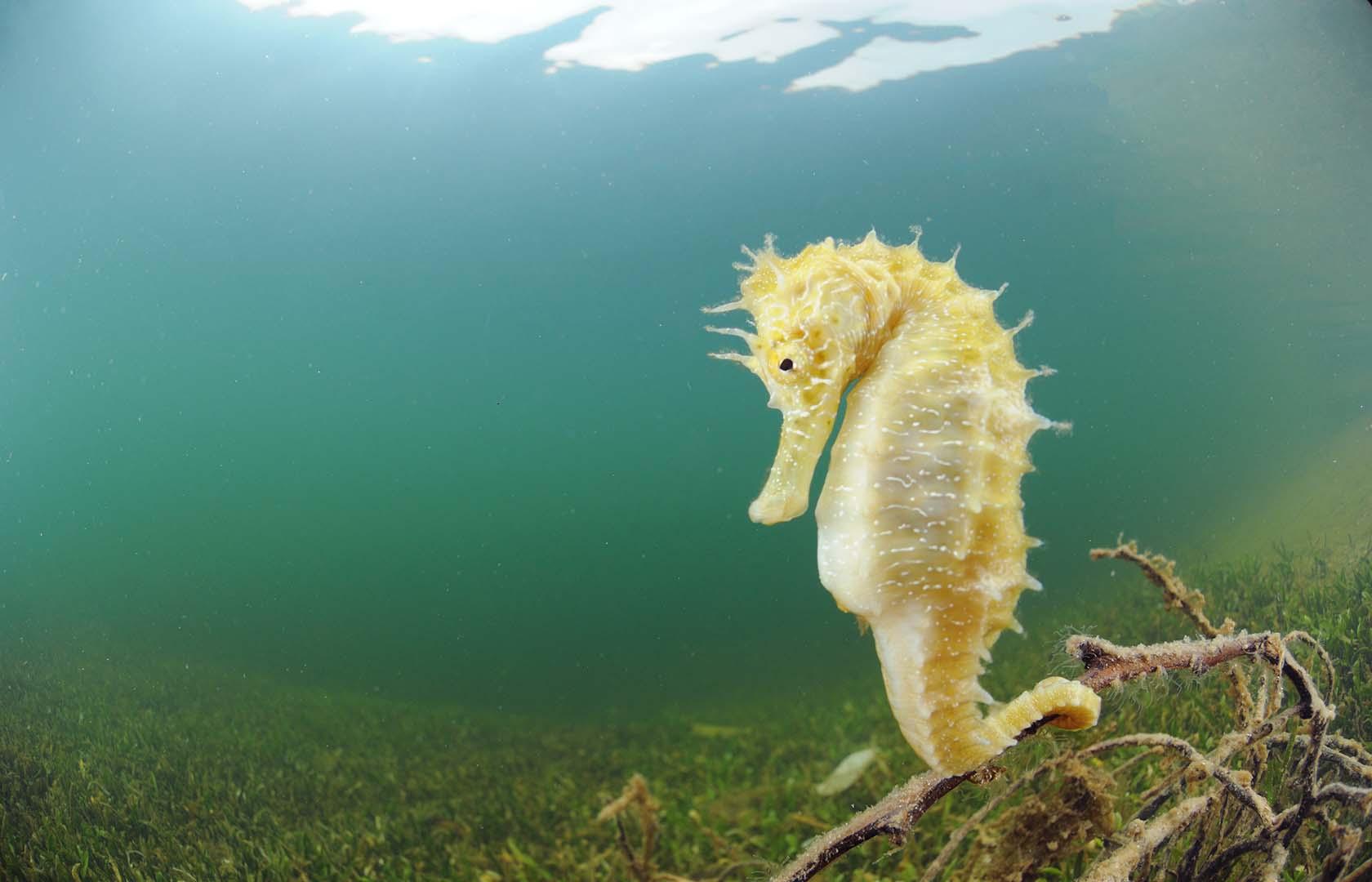 Se trata de una especie cada vez más rara en el Mar Menor.