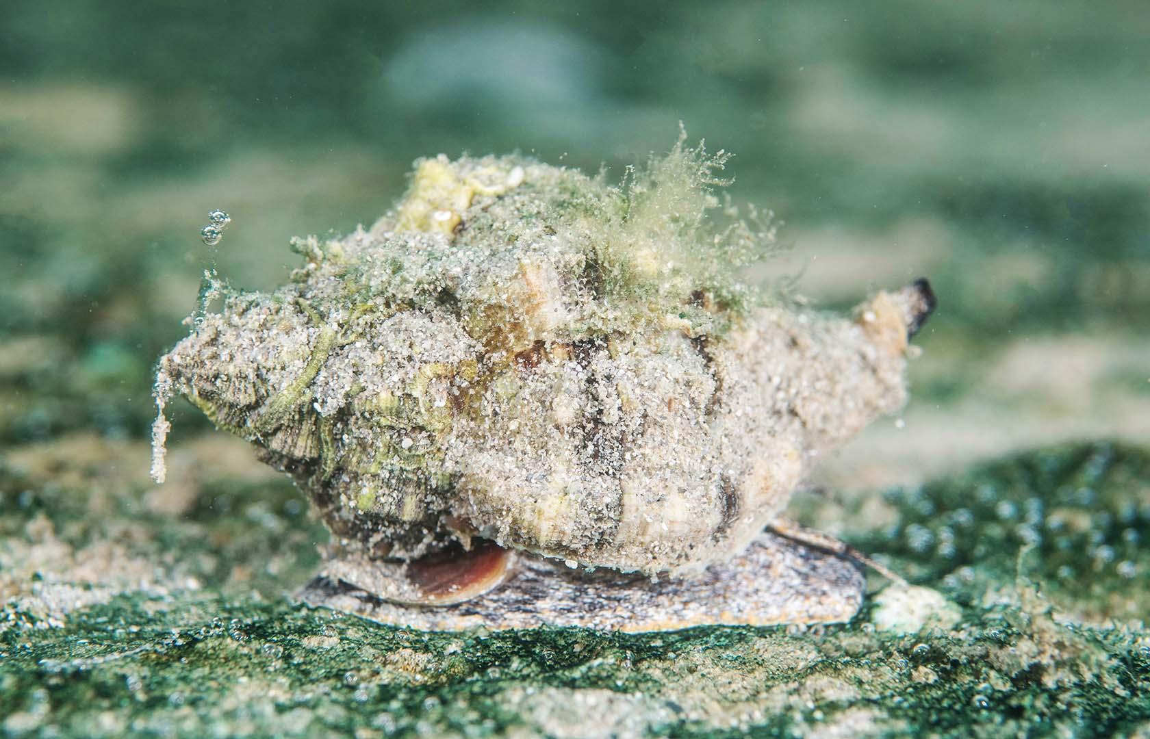 Sobre su concha suelen crecer multitud de algas.