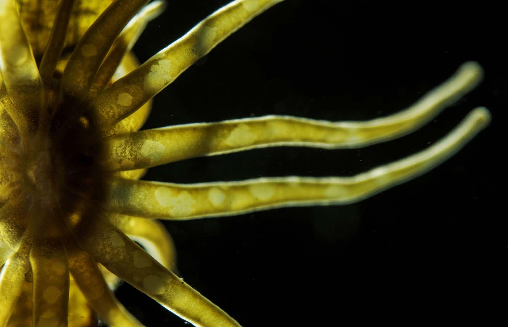 Detalle de sus tentáculos.