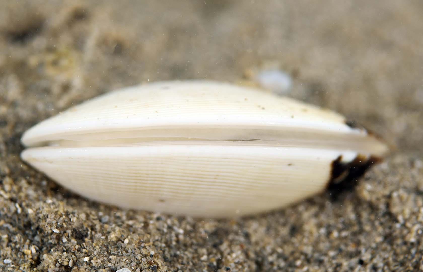 Ejemplar sobre fondo fangoso en aguas someras del Mar Menor.