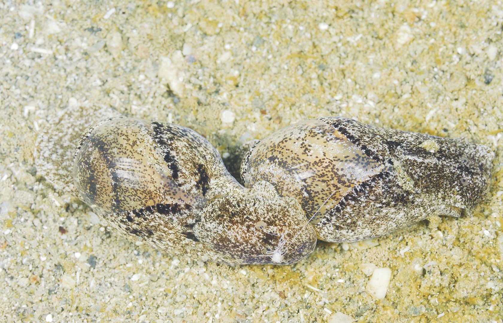 Pareja reproduciéndose, pueden formar largas cadenas de ejemplares.
