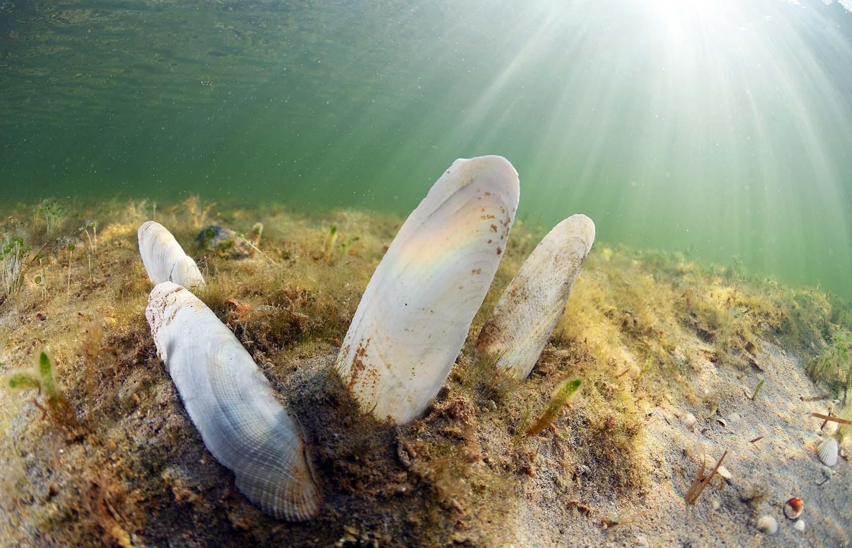 - Solo queda una pequeña población en el Mar Menor.