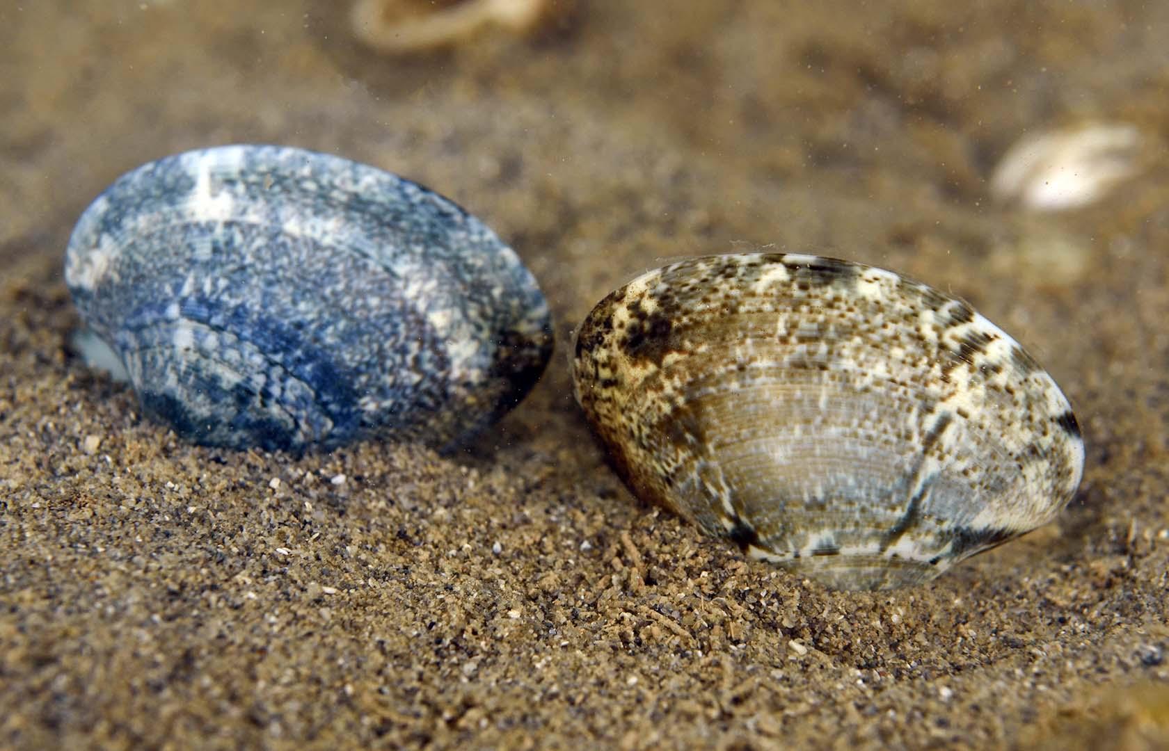 Varios ejemplares sobre fondo fangoso en aguas someras del Mar Menor.